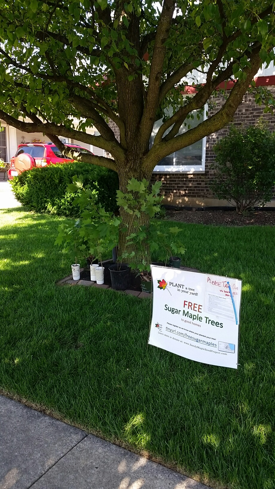 Plant a Tree, Clean the Air – Free Sugar Maple Seedlings to Good Homes