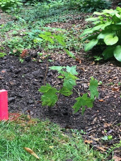 Hello , thanks for the maple tree. Our seedling is planted in the back of our home in Hobson Oaks in Naperville, Illinois. In the future we hope it will provide shade and a beautiful orange canopy.